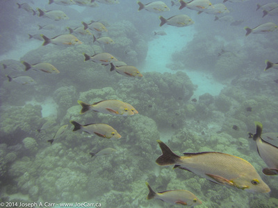 Big school of Humpback Red Snapper