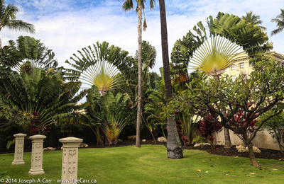 Fan Palms in the garden