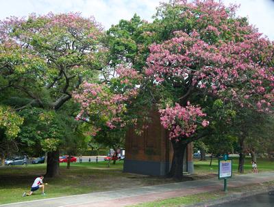 Pink blossom on the Palo Borracho - 'the drunken stick' tree
