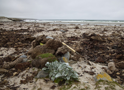 Seaweed and Sea Cabbage on the beach