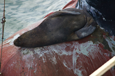 A sea lion sleeping on the bulbous bow of the fuel tender