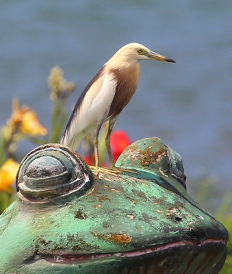 Javan Pond-Heron perched on a decorative frog statue on the lakeshore