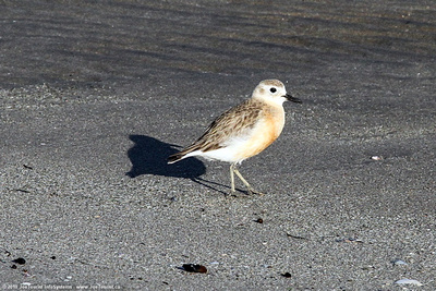 Banded Dotterel on the beach