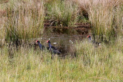 Pukeko birds in the reeds