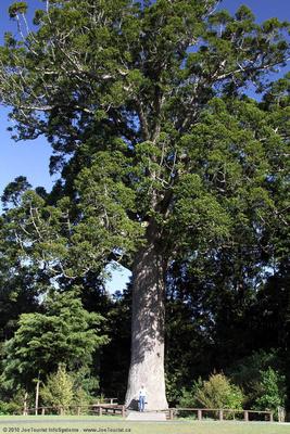 Giant Kauri tree & John McDonald