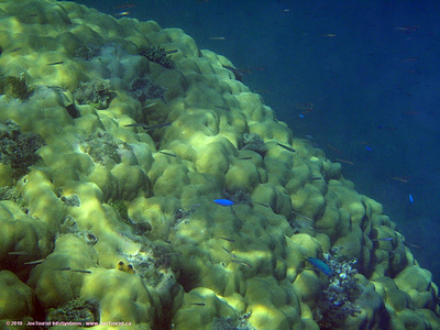 Brain coral & fish