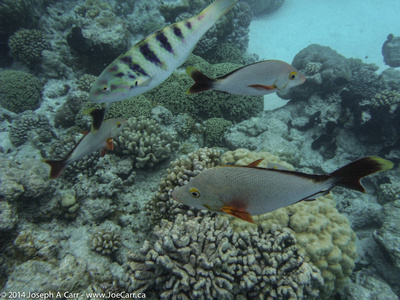 Young Parrot fish and Humpback Red Snapper swimming in the coral