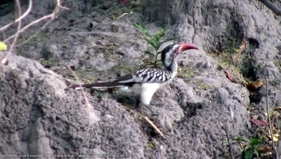 Red-billed Hornbill on a Termite mound
