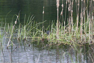 Nesting blue scaup in reeds
