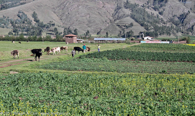 Cows, farmers and crops