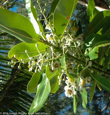 Breadfruit blossom