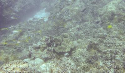 Coral and yellow fish