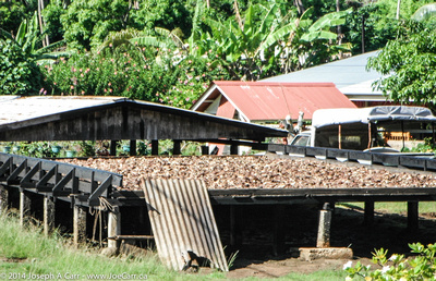 Coconut drying in the Sun
