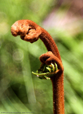 Fiddlehead fern - furry