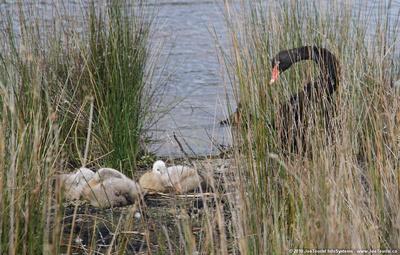 Nesting Black Swan & cygnets