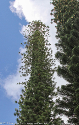 Looking up at two Araucaria pine trees