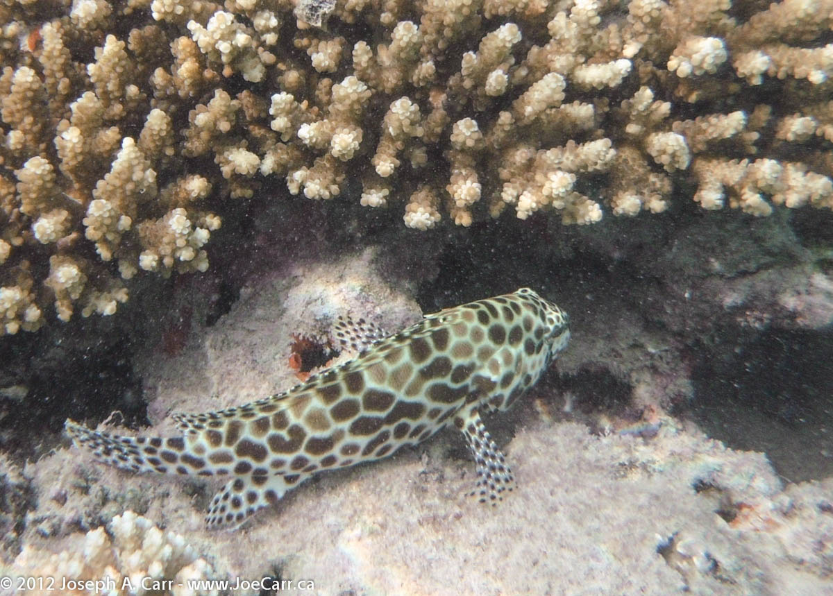 Dwarf-spotted Grouper and coral