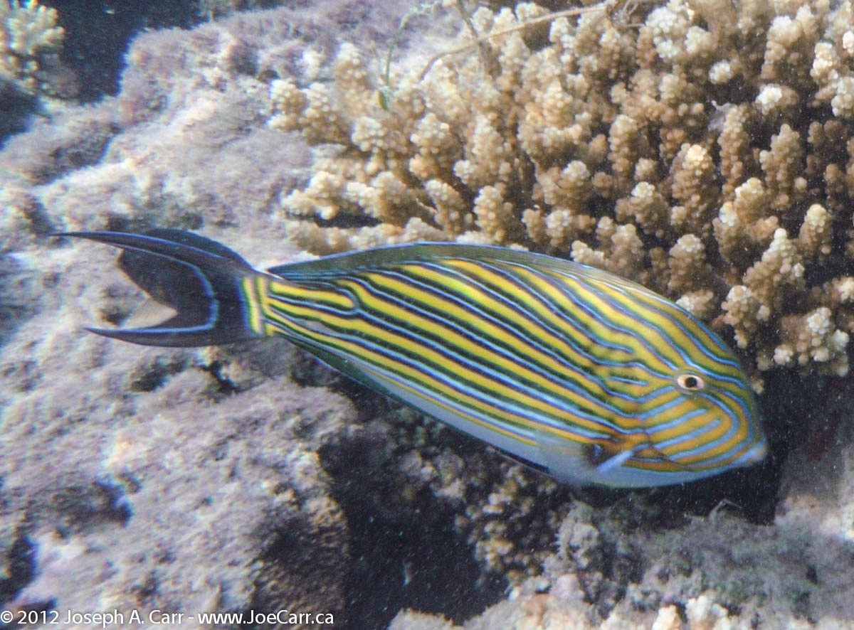 Striped Surgeon fish among the coral