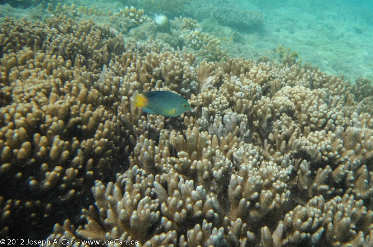 Yellowtail Emperor fish and coral