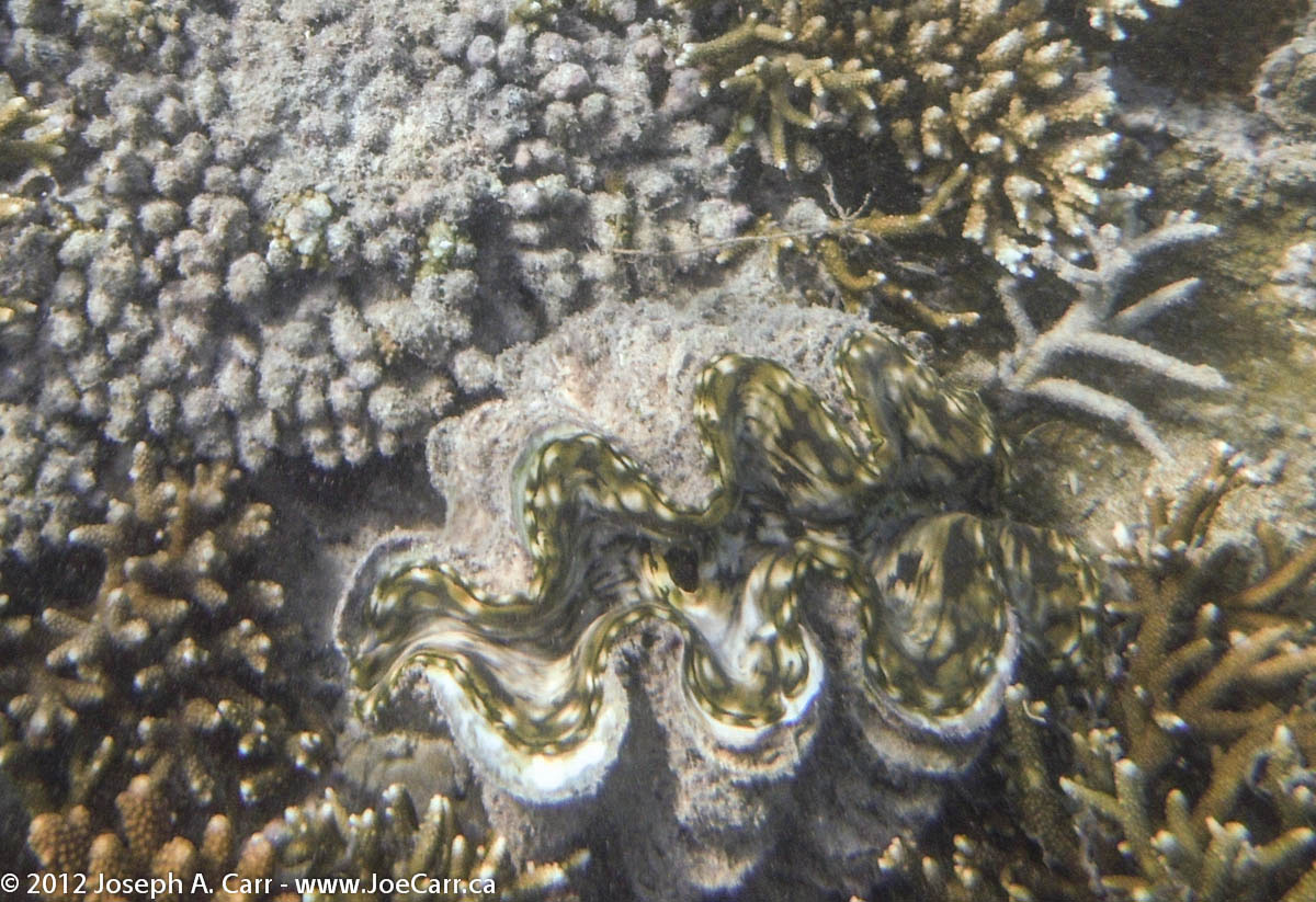 Big clam among the coral