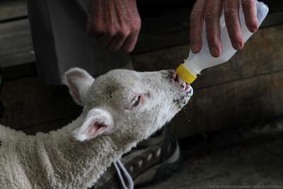 Feeding lambs
