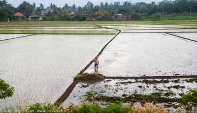 A farmer in a flooded rice fields
