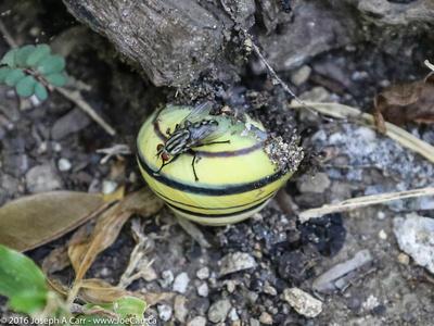 A bug on a land snail