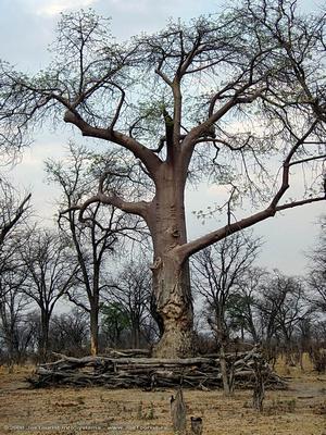 Baobab tree with elephant fence