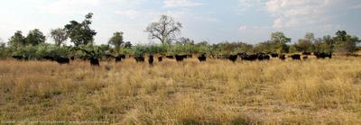 A herd of African Buffalo