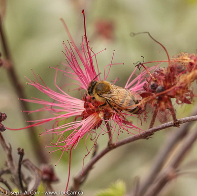 Bees on Fairy Duster flowers