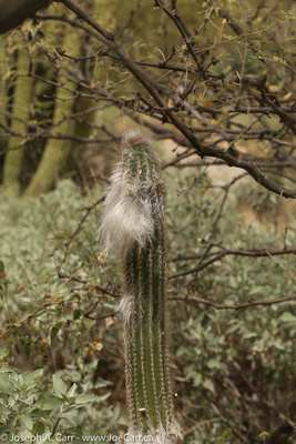 Old Man hairy Cactus