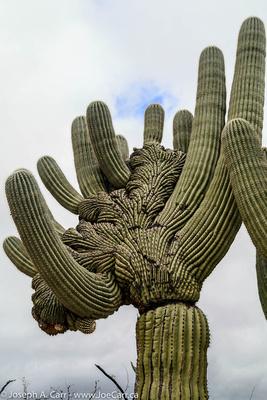 Cristate Saguaro cactus