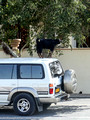 A goat standing on a car in order to reach some tree leaves