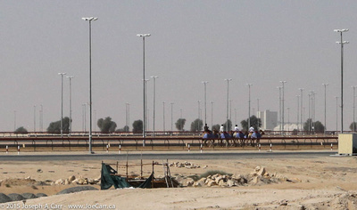 Camels being walked around the track