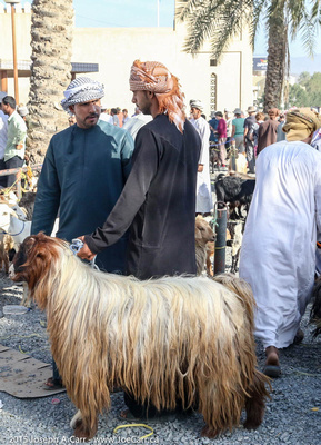 Long-haired goat for sale