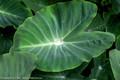 Raindrop on a giant Taro leaf