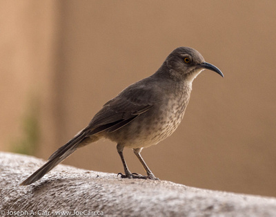 Bendire's Thrasher just outside the coffee shop