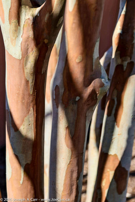 Eucalyptus tree bark