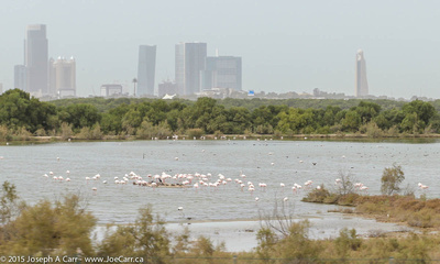 Flamingos in the flats