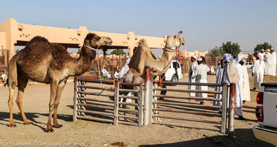 Camels for sale