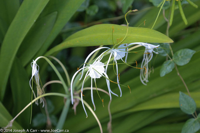 Spider Lily blossoms