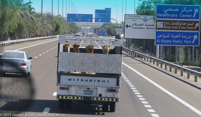 Camels in the back of a truck