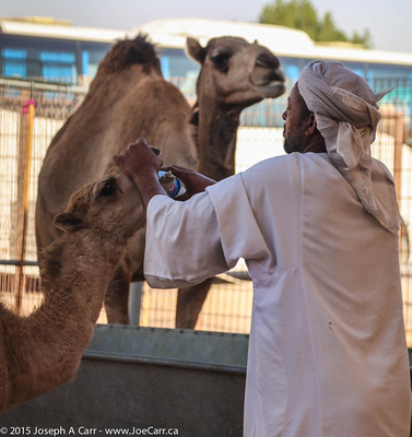 Small camel being given water