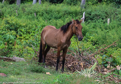 Horse in a tropical pasture