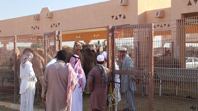 Camel sale taking place